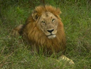 lion in South Africa bush